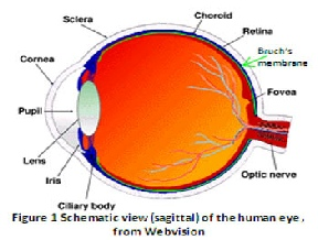 Schematic showing theanatomy of a human eye. Light is pre focused by the cornea, fine focused by the less and projected onto the retina. A fine filter lies behind the photosensitive retina, protecting it from toxic build up.